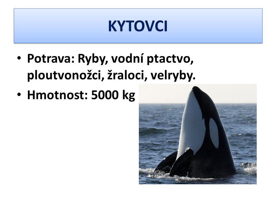KYTOVCI Potrava: Ryby, vodní ptactvo, ploutvonožci, žraloci, velryby. Hmotnost: 5000 kg