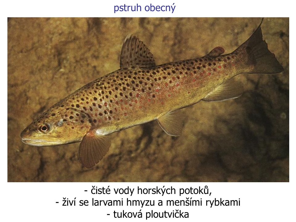 pstruh obecný - čisté vody horských potoků, - živí se larvami hmyzu a menšími rybkami - tuková ploutvička