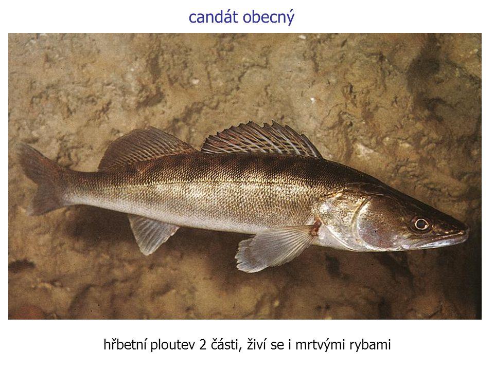 candát obecný hřbetní ploutev 2 části, živí se i mrtvými rybami