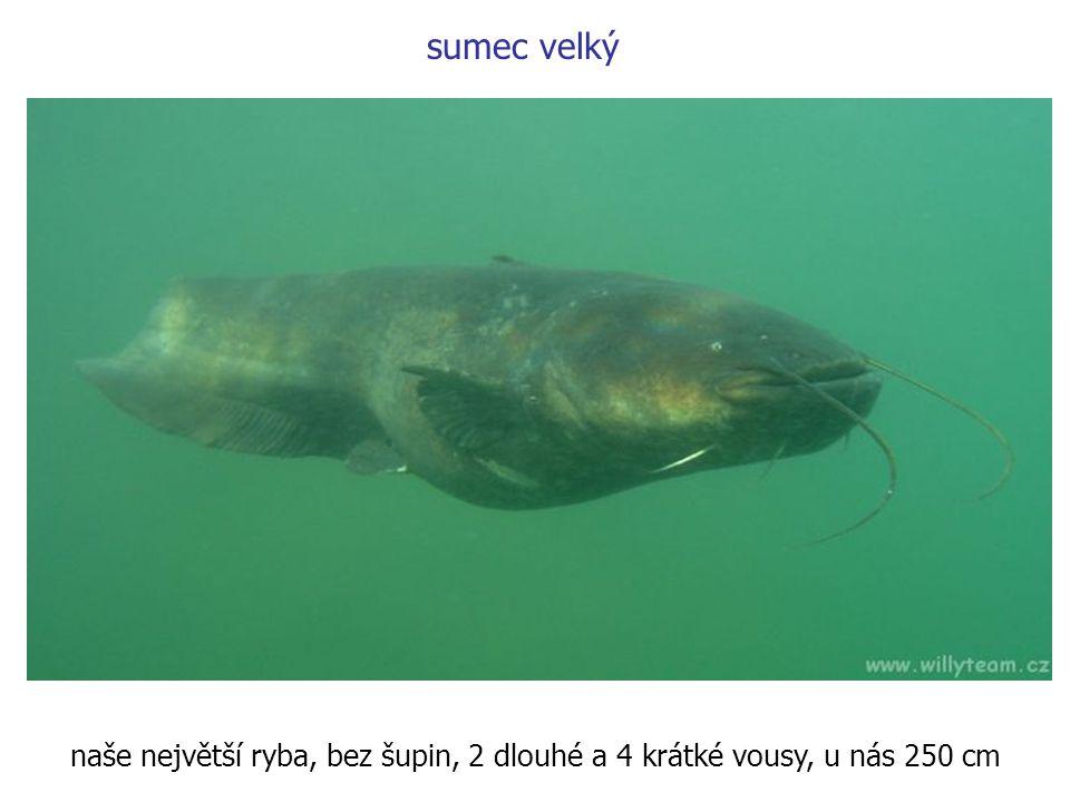 sumec velký naše největší ryba, bez šupin, 2 dlouhé a 4 krátké vousy, u nás 250 cm