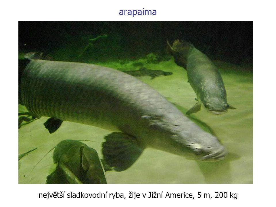 arapaima největší sladkovodní ryba, žije v Jižní Americe, 5 m, 200 kg