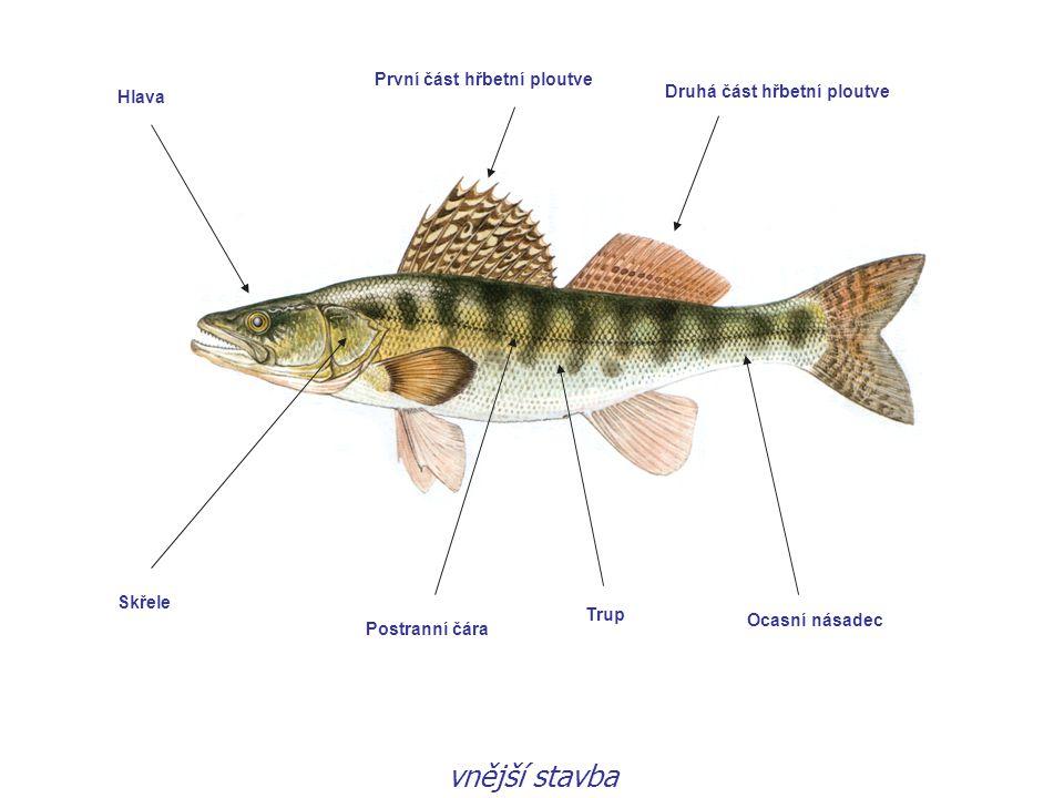 Vyza velká 8 m, přes 1000 kg, 100 let, proniká z moří do řek (Kaspické a Černé moře)