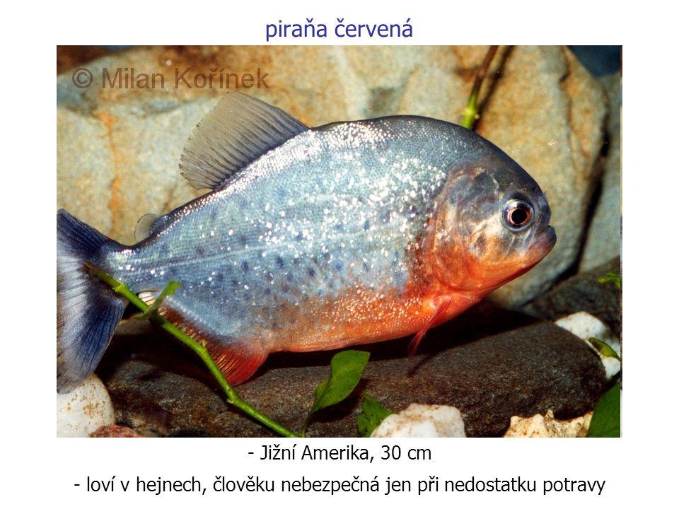 piraňa červená - Jižní Amerika, 30 cm - loví v hejnech, člověku nebezpečná jen při nedostatku potravy