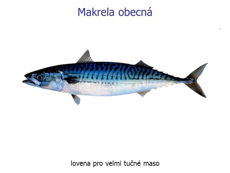 Makrela obecná lovena pro velmi tučné maso