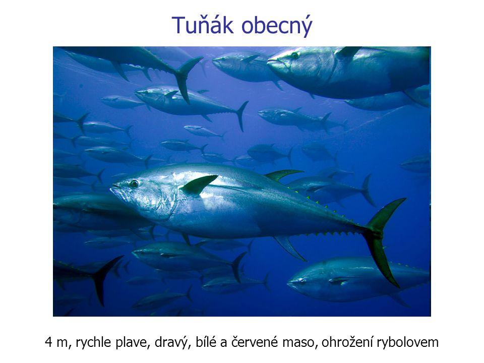 Tuňák obecný 4 m, rychle plave, dravý, bílé a červené maso, ohrožení rybolovem