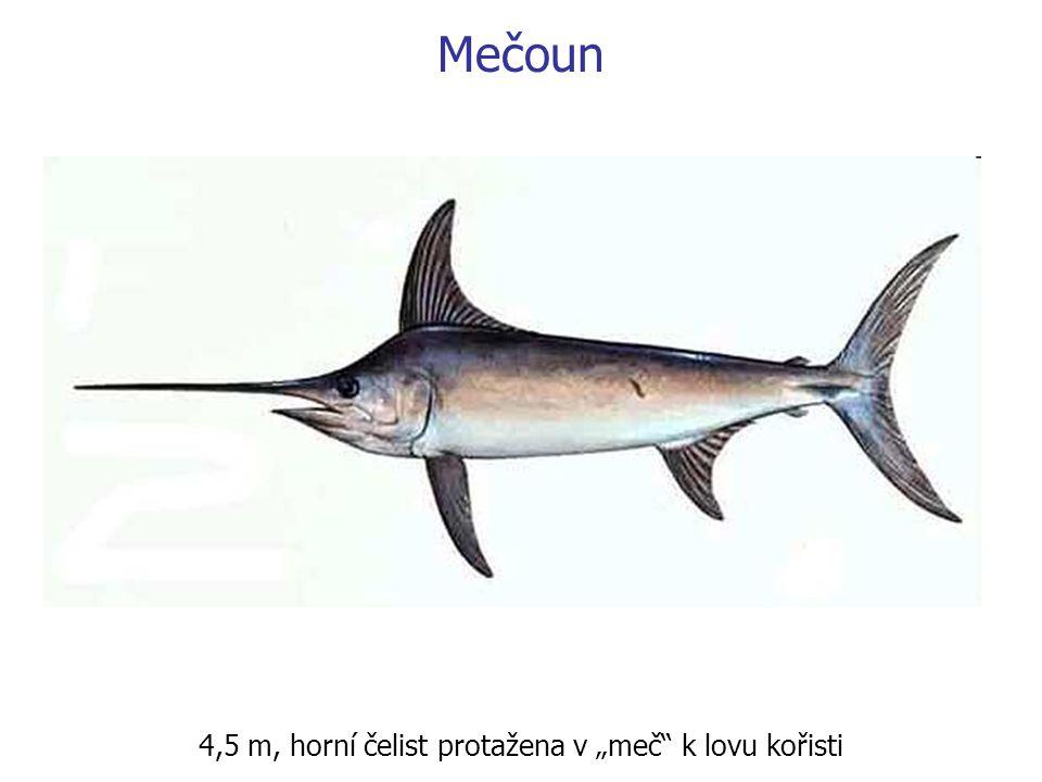 """Mečoun 4,5 m, horní čelist protažena v """"meč"""" k lovu kořisti"""