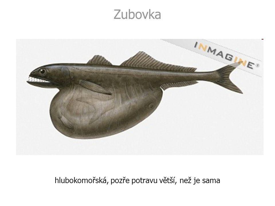 Zubovka hlubokomořská, pozře potravu větší, než je sama