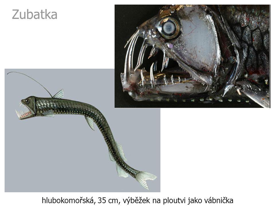 Zubatka hlubokomořská, 35 cm, výběžek na ploutvi jako vábnička
