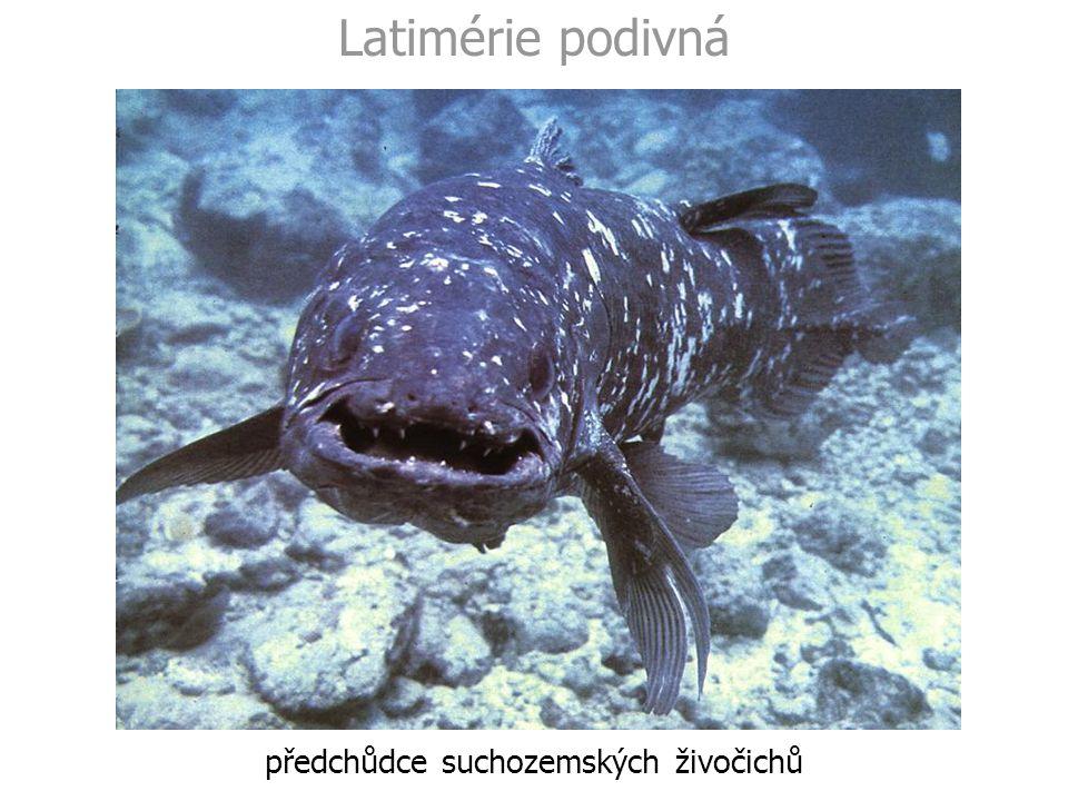 Latimérie podivná předchůdce suchozemských živočichů