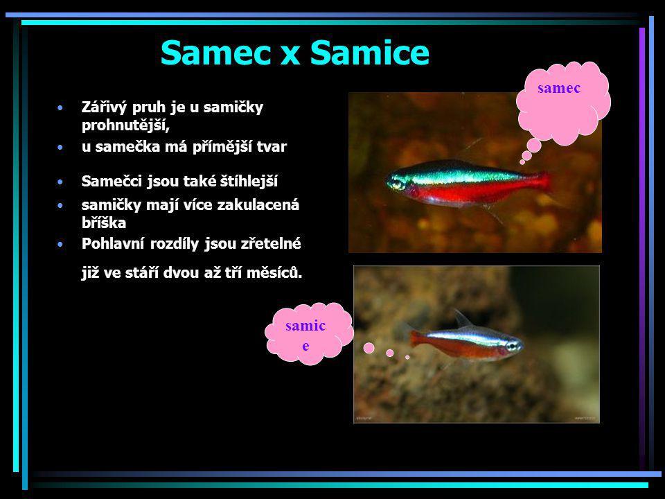 Samec x Samice Zářivý pruh je u samičky prohnutější, u samečka má přímější tvar Samečci jsou také štíhlejší samičky mají více zakulacená bříška Pohlav