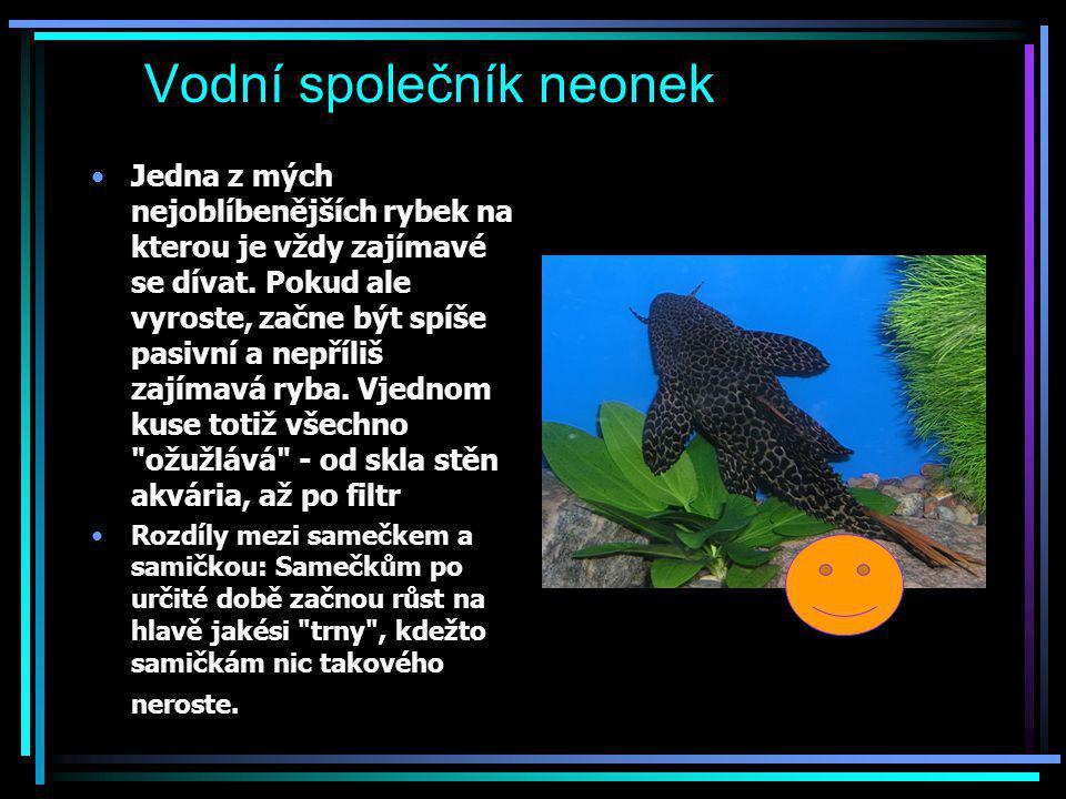 Vodní společník neonek Jedna z mých nejoblíbenějších rybek na kterou je vždy zajímavé se dívat. Pokud ale vyroste, začne být spíše pasivní a nepříliš