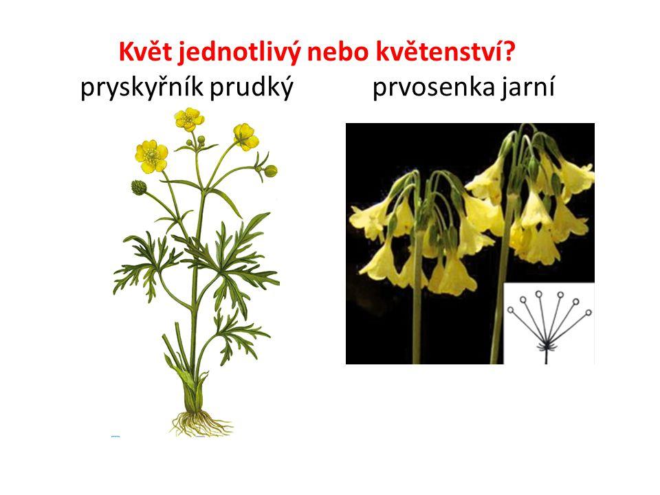 Květ jednotlivý nebo květenství? pryskyřník prudký prvosenka jarní