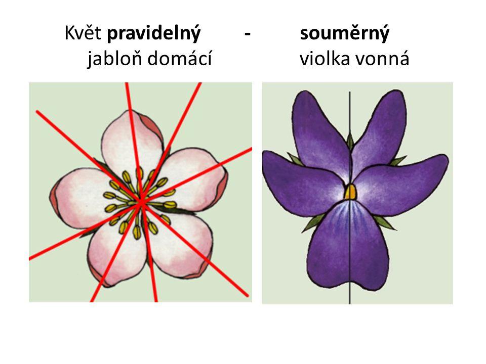 Květ pravidelný - souměrný jabloň domácí violka vonná