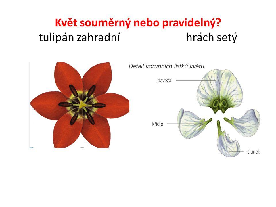 Květ souměrný nebo pravidelný? tulipán zahradní hrách setý