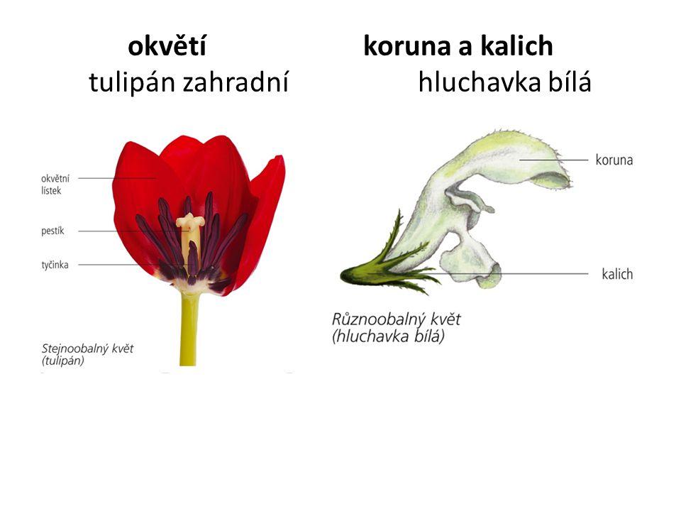 okvětí koruna a kalich tulipán zahradní hluchavka bílá