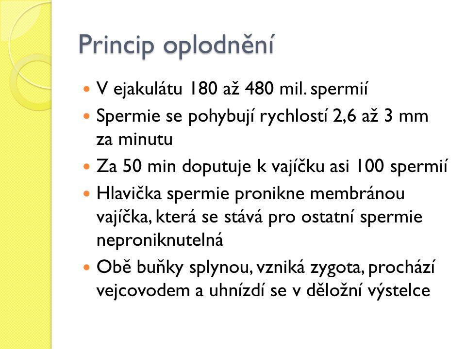 Princip oplodnění V ejakulátu 180 až 480 mil. spermií Spermie se pohybují rychlostí 2,6 až 3 mm za minutu Za 50 min doputuje k vajíčku asi 100 spermií