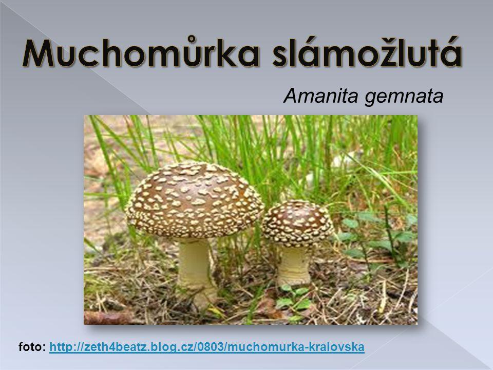 Amanita gemnata foto: http://zeth4beatz.blog.cz/0803/muchomurka-kralovskahttp://zeth4beatz.blog.cz/0803/muchomurka-kralovska