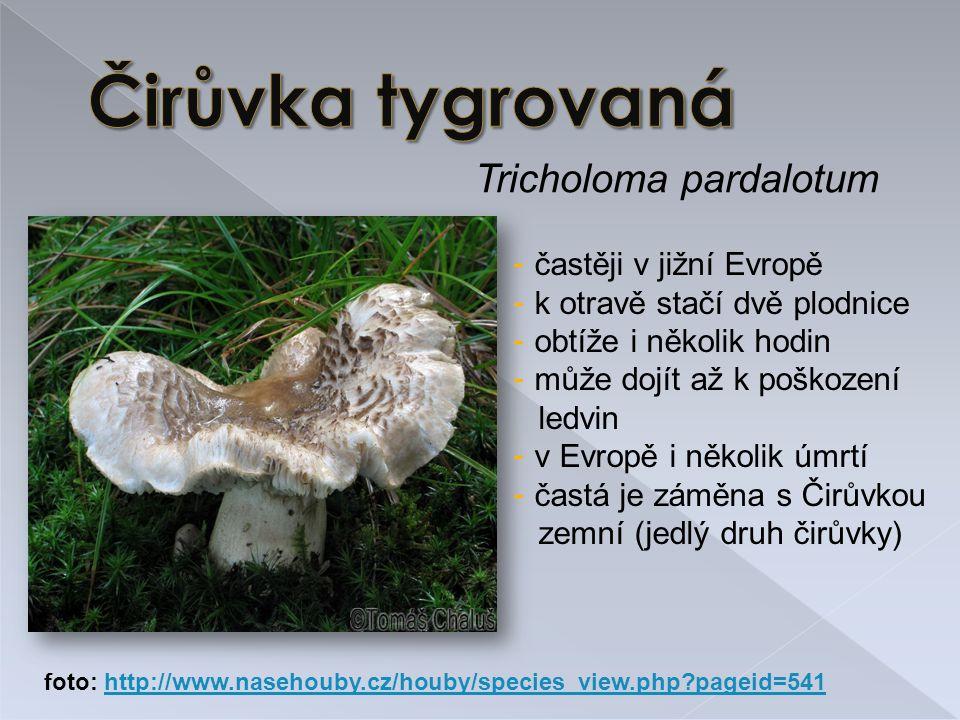 Tricholoma pardalotum - častěji v jižní Evropě - k otravě stačí dvě plodnice - obtíže i několik hodin - může dojít až k poškození ledvin - v Evropě i několik úmrtí - častá je záměna s Čirůvkou zemní (jedlý druh čirůvky) foto: http://www.nasehouby.cz/houby/species_view.php?pageid=541http://www.nasehouby.cz/houby/species_view.php?pageid=541
