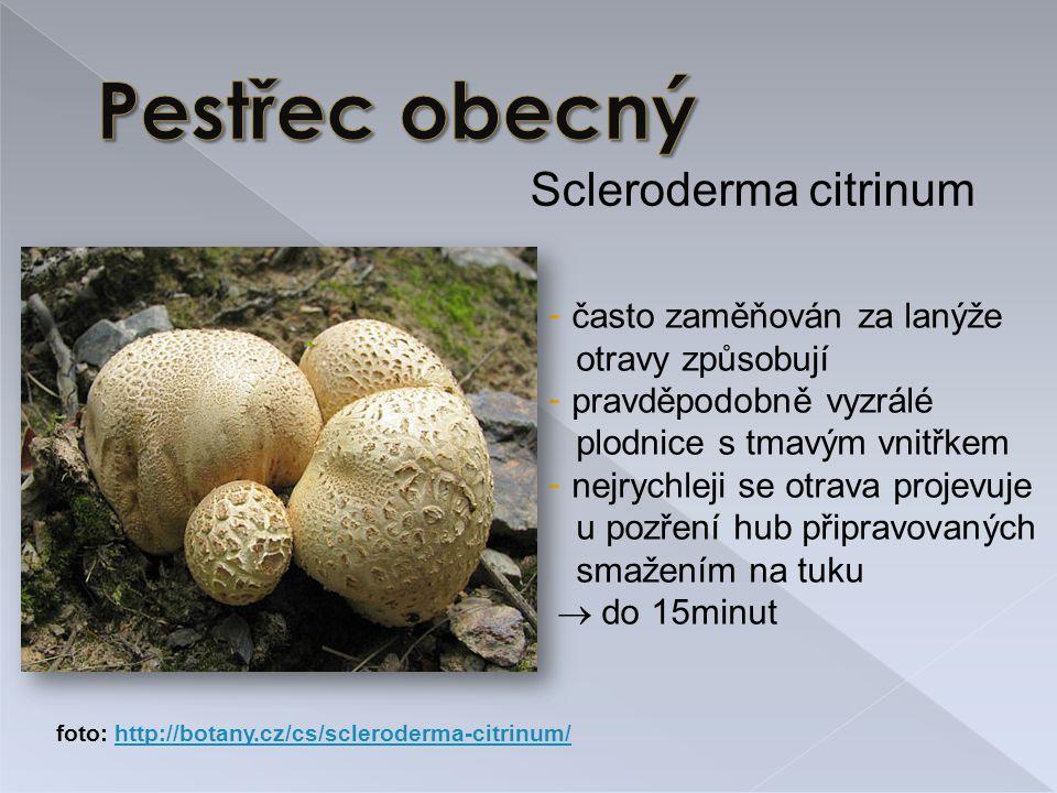 Scleroderma citrinum - často zaměňován za lanýže otravy způsobují - pravděpodobně vyzrálé plodnice s tmavým vnitřkem - nejrychleji se otrava projevuje u pozření hub připravovaných smažením na tuku  do 15minut foto: http://botany.cz/cs/scleroderma-citrinum/http://botany.cz/cs/scleroderma-citrinum/