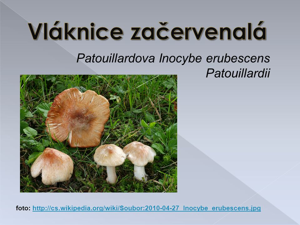 Entoloma vernum - častěji v jižní Evropě - roste v houfech - nejvíce březen – květen (období chudé na jedlé houby) - záměna možná se Špičkou travní - úmrtí nejsou známá, ale dochází k silnému vyčerpání organismu foto: http://www.naturfoto.cz/zavojenka-jarni-fotografie-14056.htmlhttp://www.naturfoto.cz/zavojenka-jarni-fotografie-14056.html