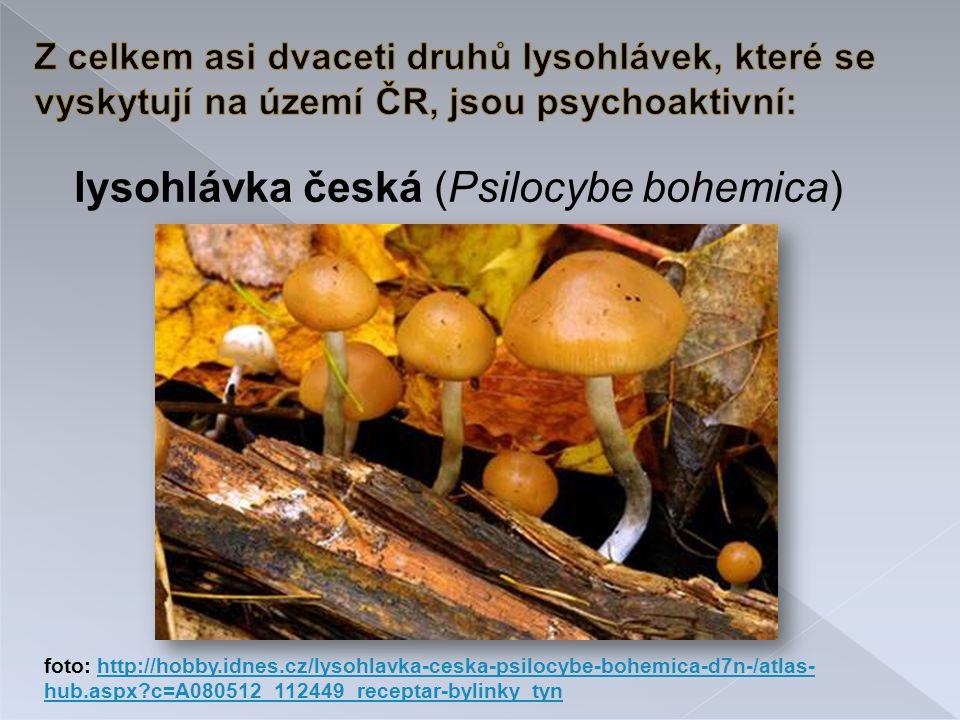 lysohlávka česká (Psilocybe bohemica) foto: http://hobby.idnes.cz/lysohlavka-ceska-psilocybe-bohemica-d7n-/atlas- hub.aspx?c=A080512_112449_receptar-bylinky_tynhttp://hobby.idnes.cz/lysohlavka-ceska-psilocybe-bohemica-d7n-/atlas- hub.aspx?c=A080512_112449_receptar-bylinky_tyn