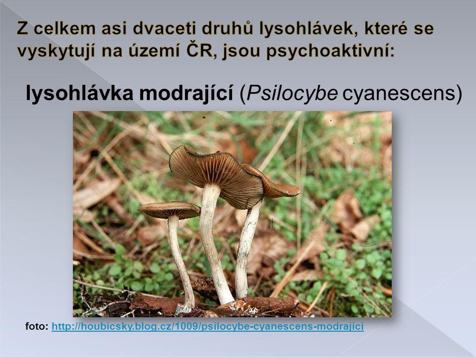 lysohlávka modrající (Psilocybe cyanescens) foto: http://houbicsky.blog.cz/1009/psilocybe-cyanescens-modrajicihttp://houbicsky.blog.cz/1009/psilocybe-cyanescens-modrajici