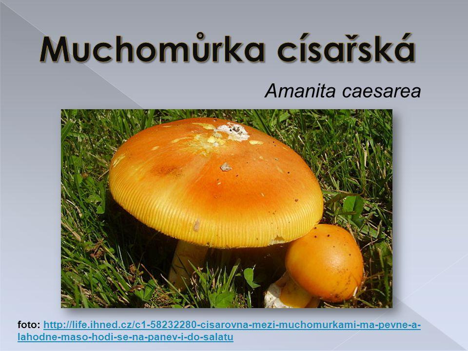 Amanita caesarea foto: http://life.ihned.cz/c1-58232280-cisarovna-mezi-muchomurkami-ma-pevne-a- lahodne-maso-hodi-se-na-panev-i-do-salatuhttp://life.ihned.cz/c1-58232280-cisarovna-mezi-muchomurkami-ma-pevne-a- lahodne-maso-hodi-se-na-panev-i-do-salatu