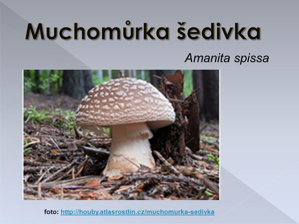 Amanita spissa foto: http://houby.atlasrostlin.cz/muchomurka-sedivkahttp://houby.atlasrostlin.cz/muchomurka-sedivka
