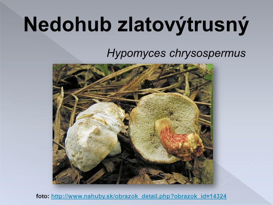 Hypomyces chrysospermus foto: http://www.nahuby.sk/obrazok_detail.php?obrazok_id=14324http://www.nahuby.sk/obrazok_detail.php?obrazok_id=14324 Nedohub zlatovýtrusný