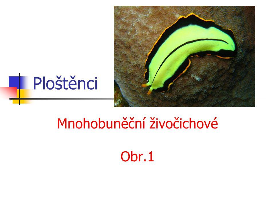 Ploštěnci Mnohobuněční živočichové Obr.1