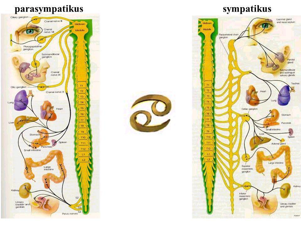 Noradrenalin stimuluje  a  2 zvyš.syst. i diast.