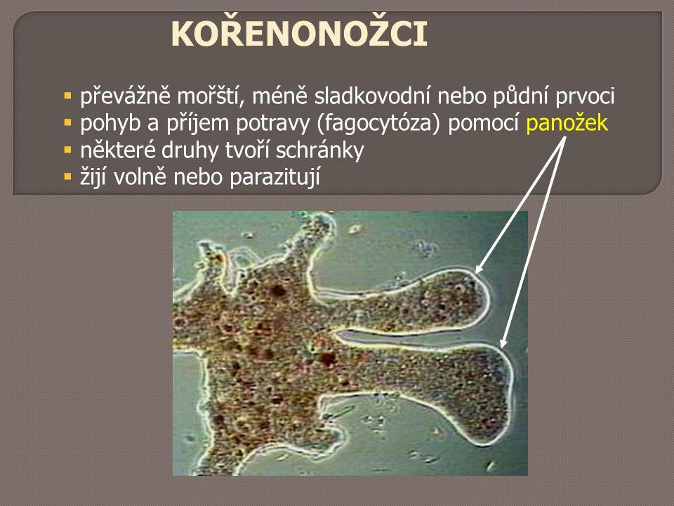 KOŘENONOŽCI  převážně mořští, méně sladkovodní nebo půdní prvoci  pohyb a příjem potravy (fagocytóza) pomocí panožek  některé druhy tvoří schránky