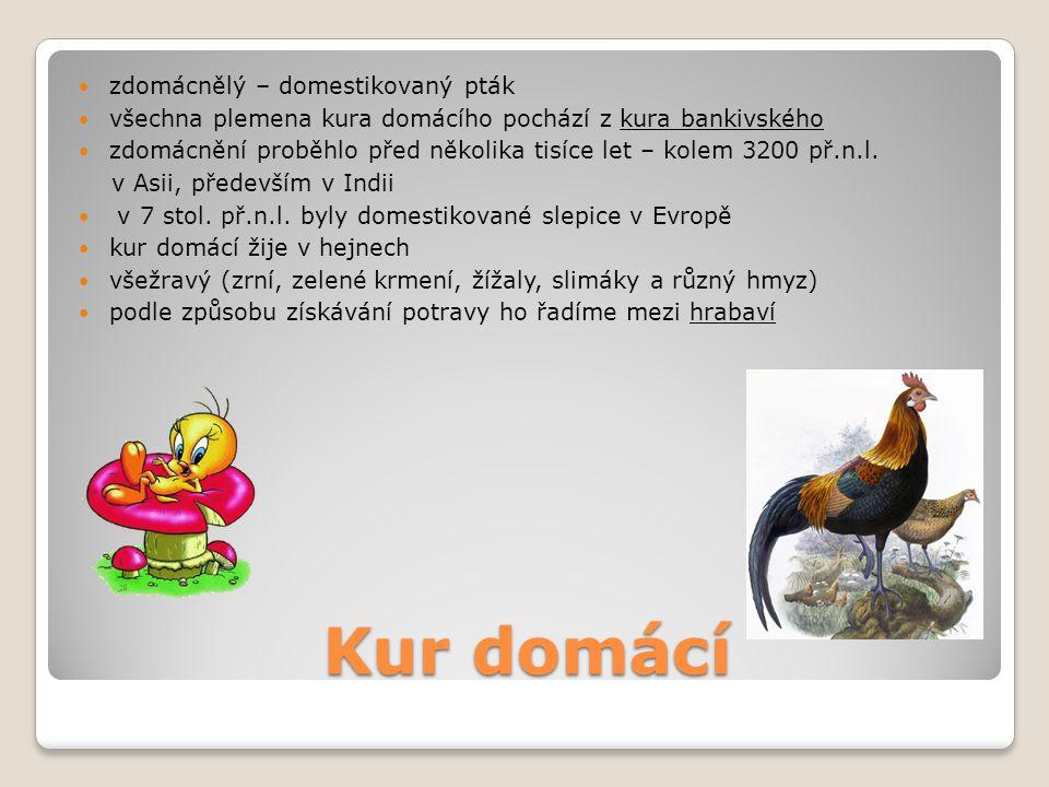Kur domácí zdomácnělý – domestikovaný pták všechna plemena kura domácího pochází z kura bankivského zdomácnění proběhlo před několika tisíce let – kol