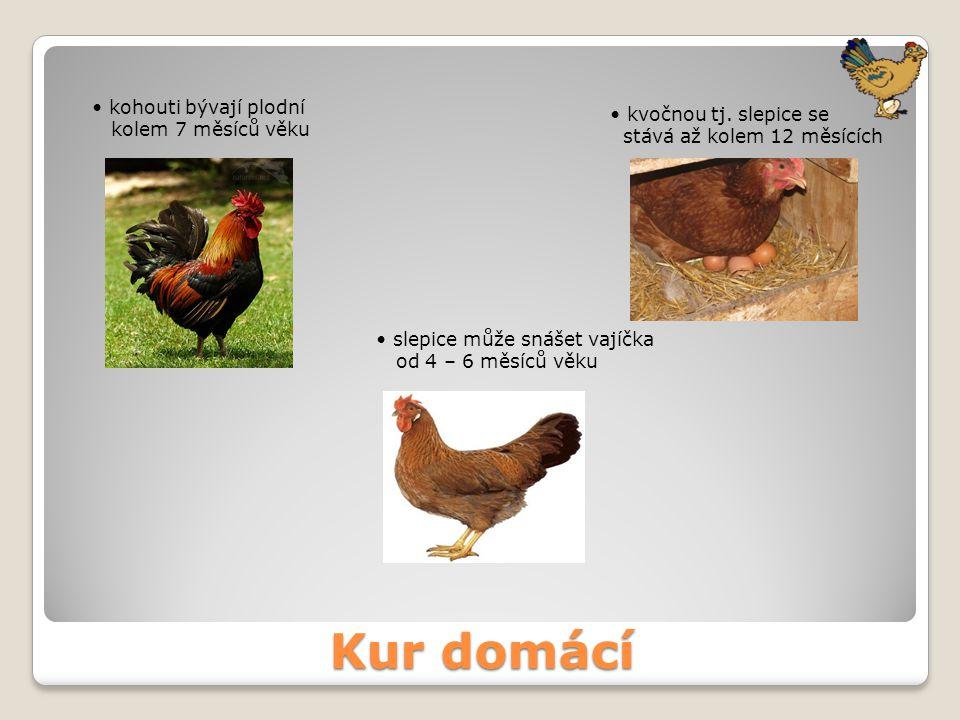 Kur domácí kohouti bývají plodní kolem 7 měsíců věku slepice může snášet vajíčka od 4 – 6 měsíců věku kvočnou tj. slepice se stává až kolem 12 měsícíc