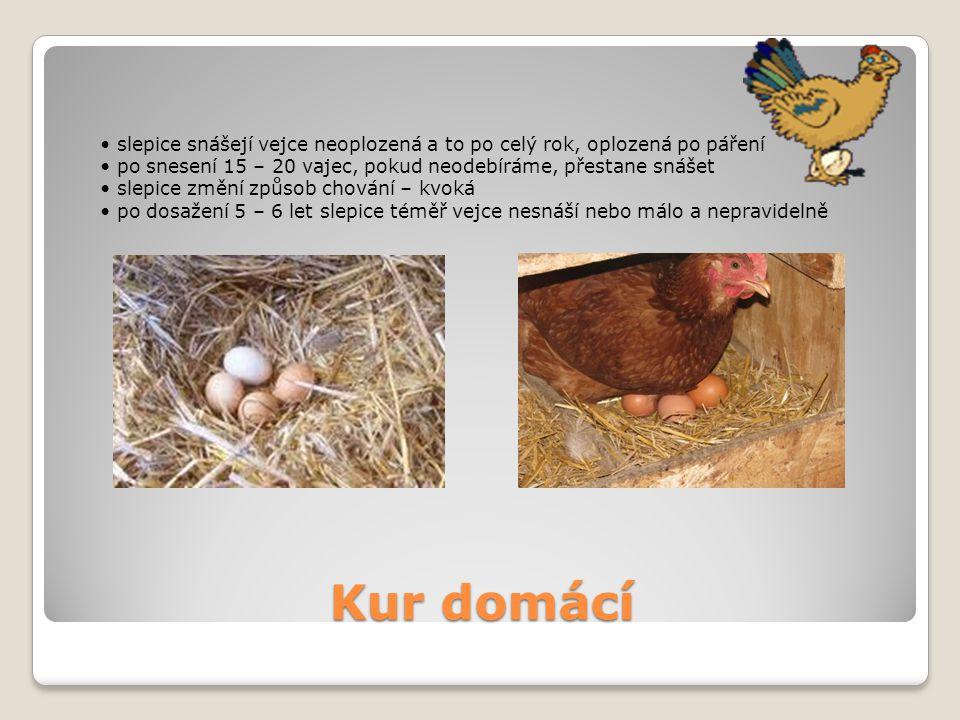 Kur domácí slepice snášejí vejce neoplozená a to po celý rok, oplozená po páření po snesení 15 – 20 vajec, pokud neodebíráme, přestane snášet slepice