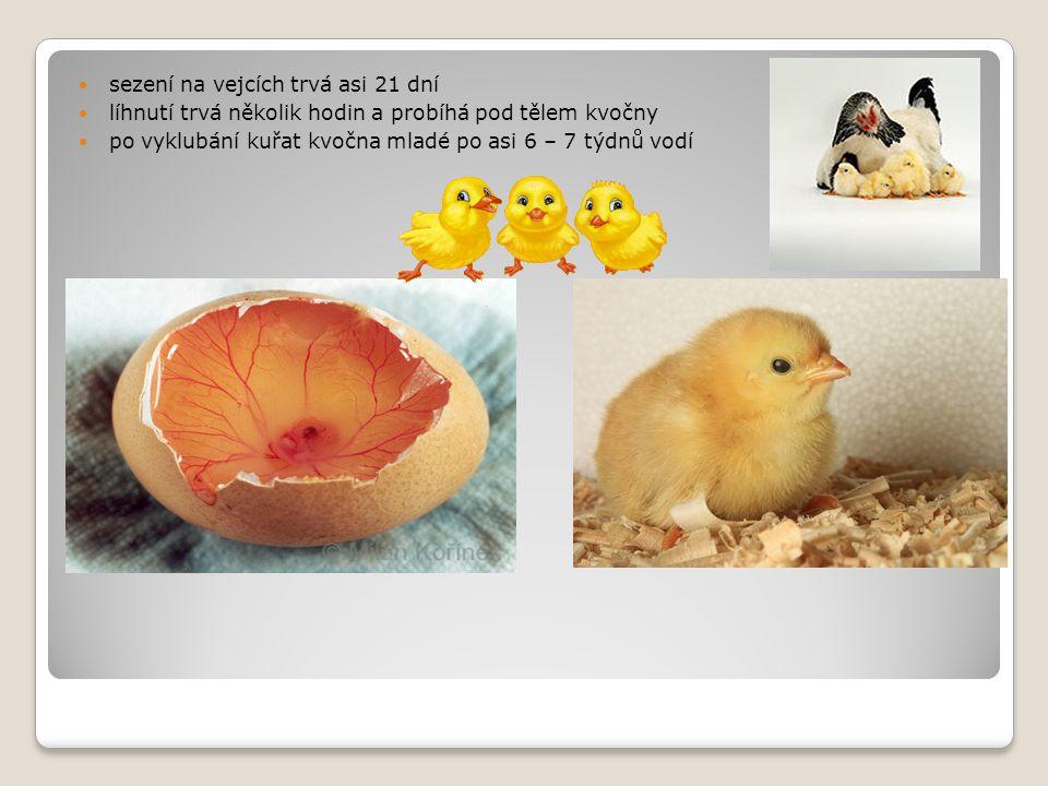 sezení na vejcích trvá asi 21 dní líhnutí trvá několik hodin a probíhá pod tělem kvočny po vyklubání kuřat kvočna mladé po asi 6 – 7 týdnů vodí