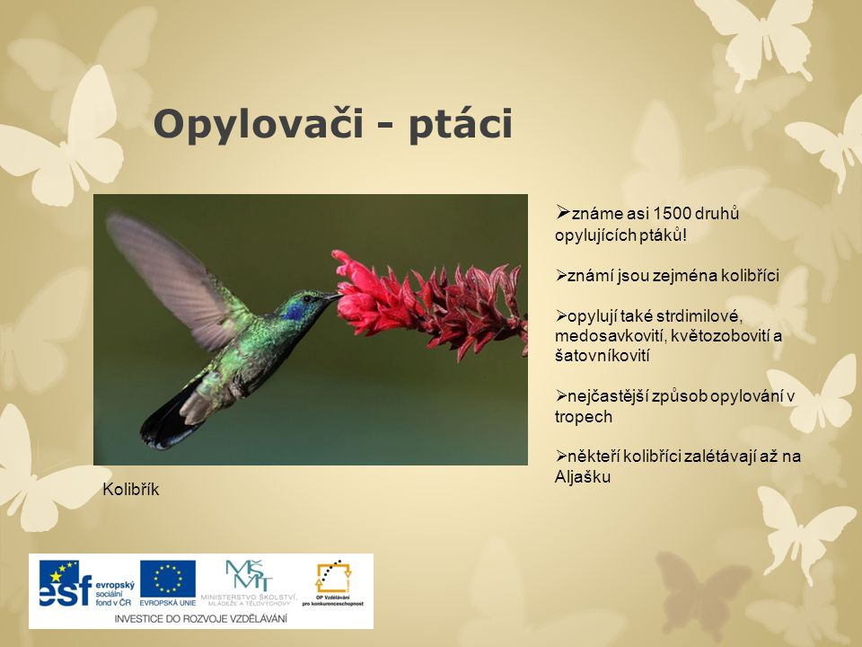 Opylovači - ptáci  známe asi 1500 druhů opylujících ptáků!  známí jsou zejména kolibříci  opylují také strdimilové, medosavkovití, květozobovití a