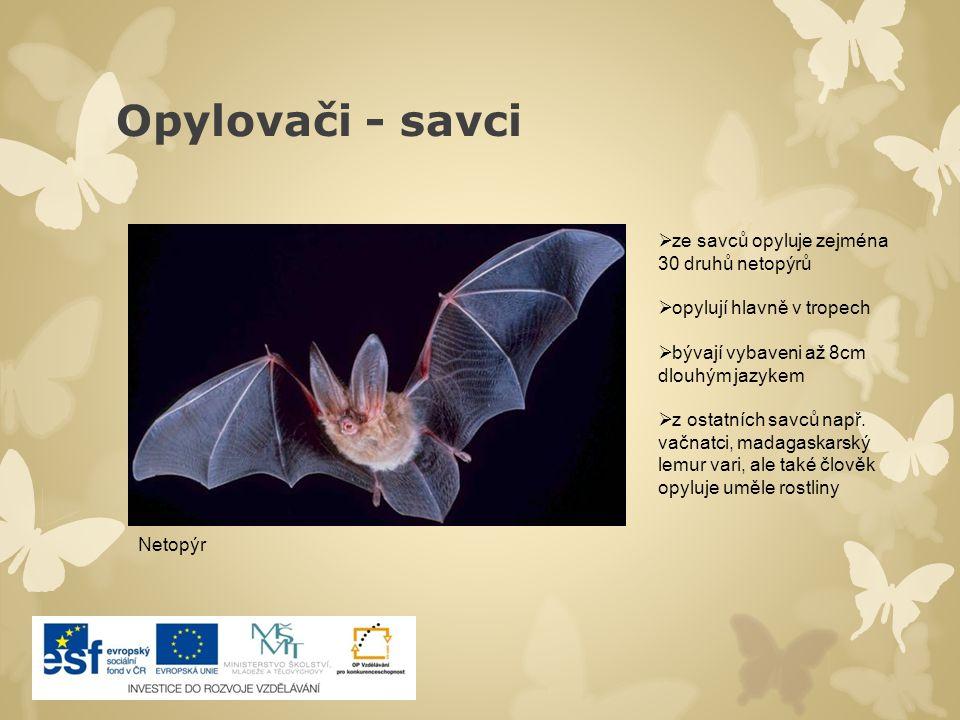 Opylovači - savci  ze savců opyluje zejména 30 druhů netopýrů  opylují hlavně v tropech  bývají vybaveni až 8cm dlouhým jazykem  z ostatních savců např.