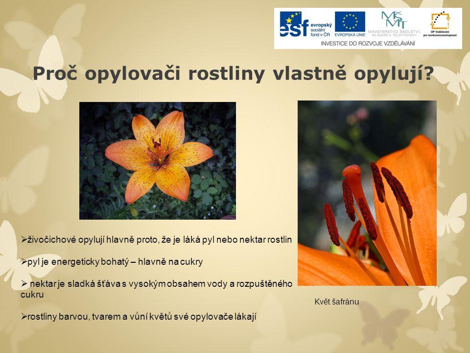 Proč opylovači rostliny vlastně opylují? Květ šafránu  živočichové opylují hlavně proto, že je láká pyl nebo nektar rostlin  pyl je energeticky boha