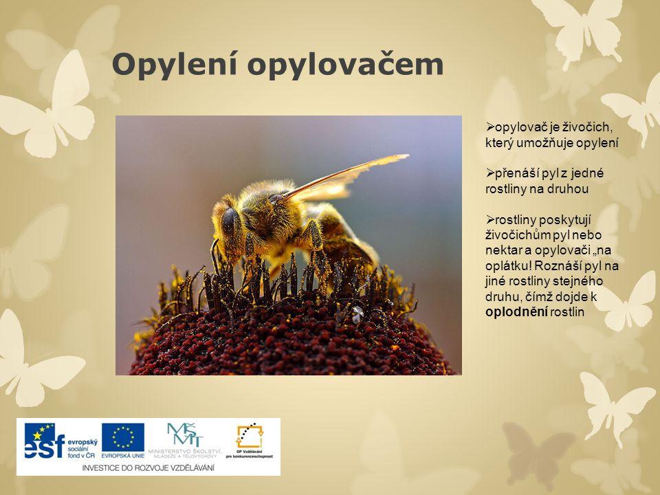 """Opylení opylovačem  opylovač je živočich, který umožňuje opylení  přenáší pyl z jedné rostliny na druhou  rostliny poskytují živočichům pyl nebo nektar a opylovači """"na oplátku."""