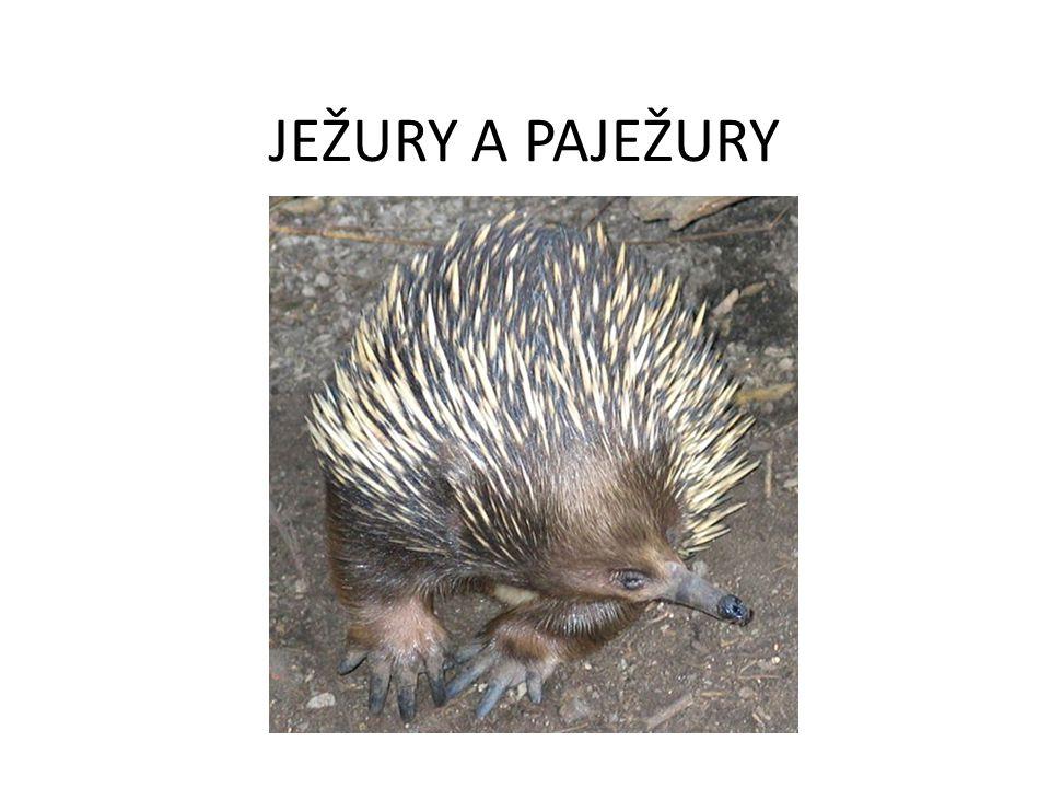 ZPŮSOB ŽIVOTA JEŽUR A PAJEŽUR: POTRAVA: JEŽURA AUSTRALSKÁ – HLAVNĚ MRAVENCI A TERMITI PAJEŽURY – HLAVNĚ ČERVI A PONRAVY