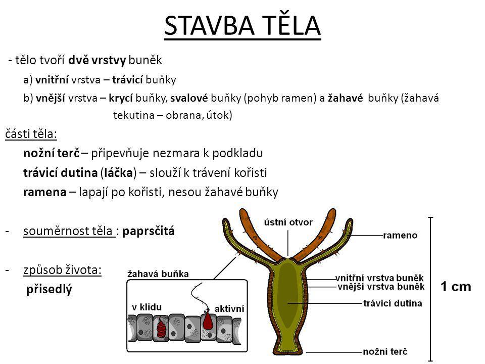 STAVBA TĚLA - tělo tvoří dvě vrstvy buněk a) vnitřní vrstva – trávicí buňky b) vnější vrstva – krycí buňky, svalové buňky (pohyb ramen) a žahavé buňky