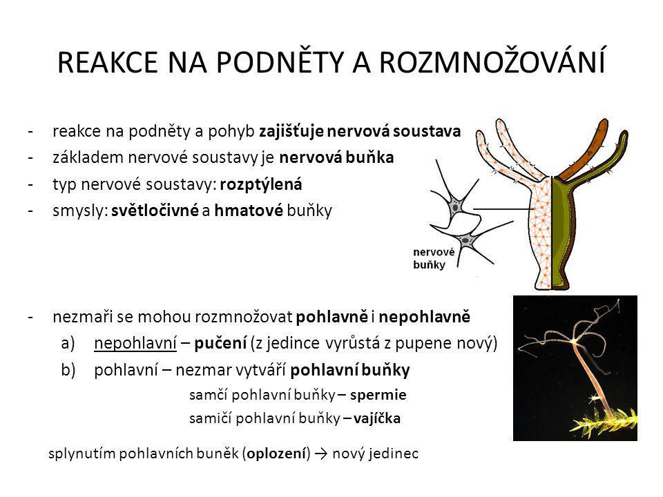 REAKCE NA PODNĚTY A ROZMNOŽOVÁNÍ -reakce na podněty a pohyb zajišťuje nervová soustava -základem nervové soustavy je nervová buňka -typ nervové sousta