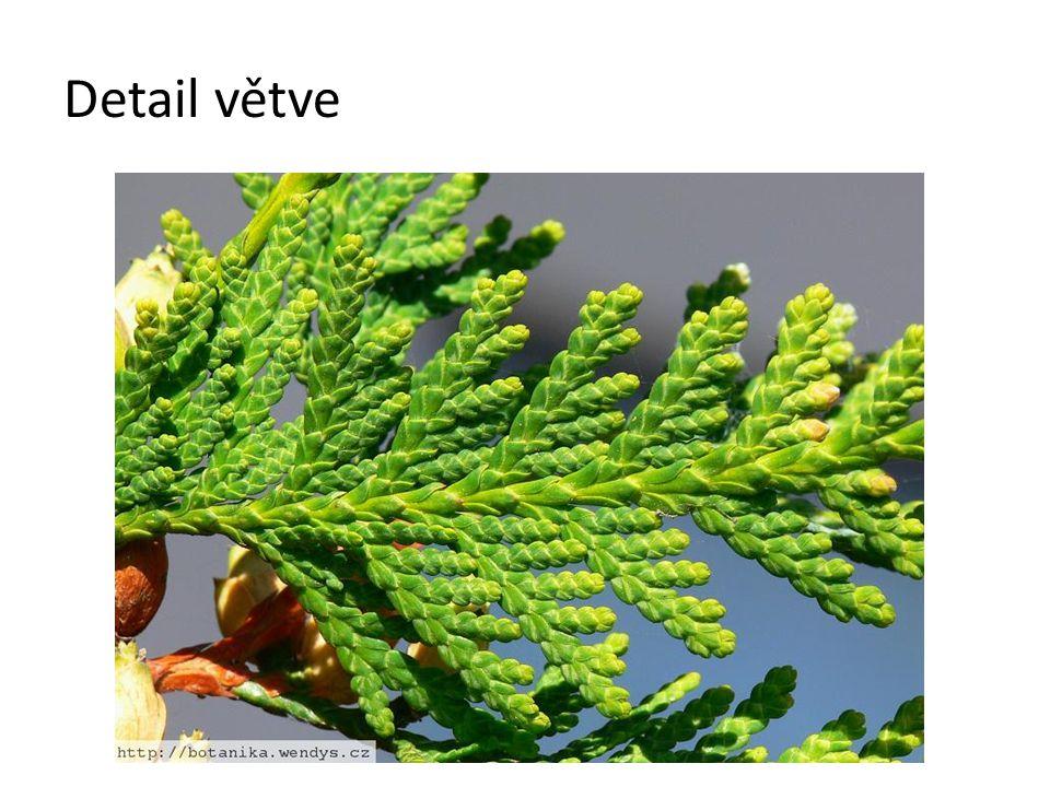 Detail větve