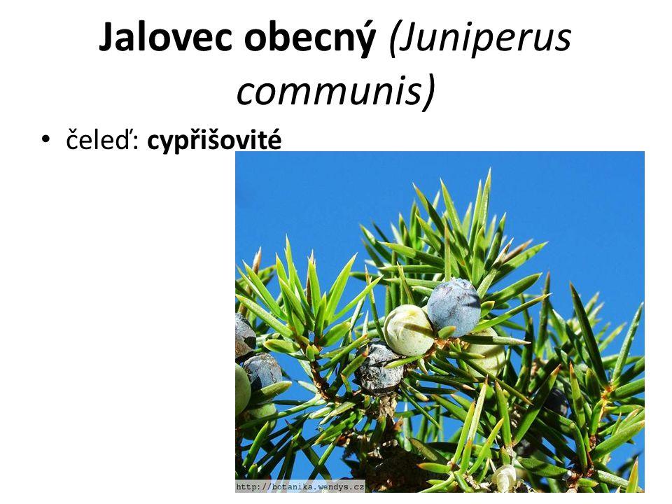 Jalovec obecný (Juniperus communis) čeleď: cypřišovité