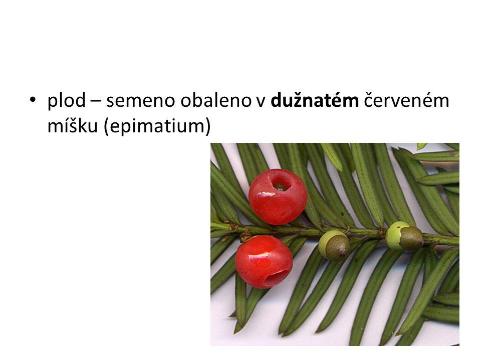 plod – semeno obaleno v dužnatém červeném míšku (epimatium)