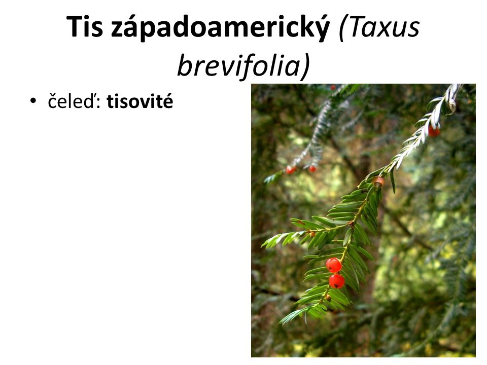 Tis západoamerický (Taxus brevifolia) čeleď: tisovité
