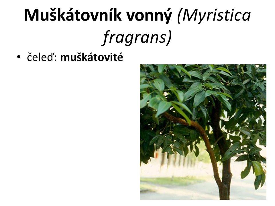 Muškátovník vonný (Myristica fragrans) čeleď: muškátovité