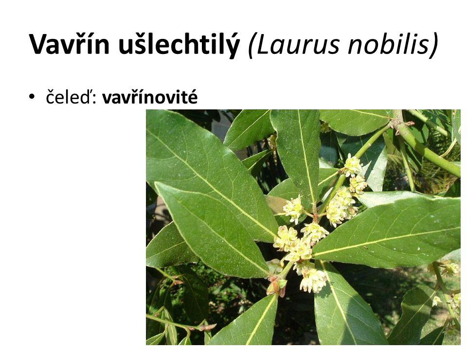 Vavřín ušlechtilý (Laurus nobilis) čeleď: vavřínovité