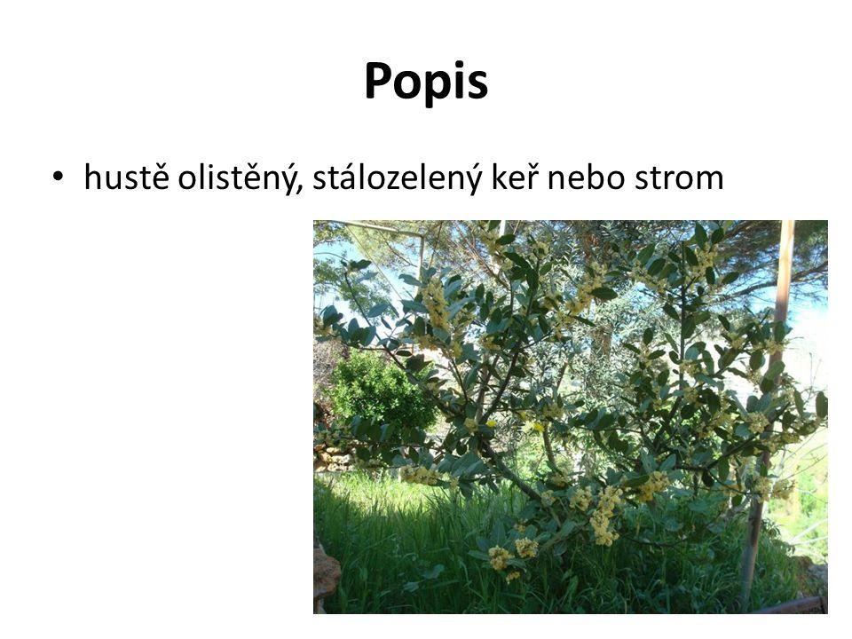 Popis hustě olistěný, stálozelený keř nebo strom